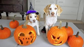 Halloween Pumpkin Carving w/Funny Dogs Maymo & Penny