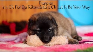 Belgian Shepherd Puppies from s.r. Ch Fix Du Ribaudeau x Ch Let It Be Your Way