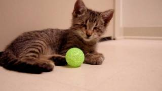 Oskar the Blind Kitten and His First Toys