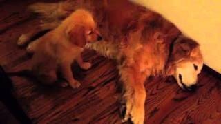 Puppy Golden Retriever Comforts Older Dog During Nightmare