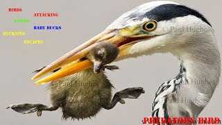Heron feeding on baby waterbirds in a compilation of images