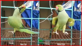 Wanna LAUGH ? This Funny BIRDS Dance Video will NOT Disappointing YOU! Funniest Birds Ever