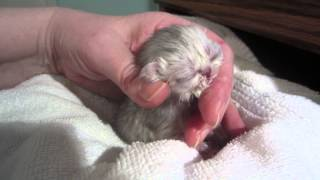 Mr. Quackers – just 2 days old! Hand Feeding a Newborn Kitten – So tiny! So cute!