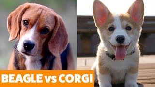 Beagle vs. Corgi – Dogs 101 | Funny Pet Videos