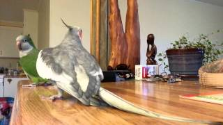 Funny Birds : Dingo the Cockatiel singing to Norman the Quaker