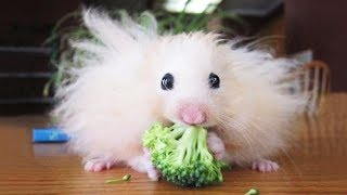 Cute Hamsters and Guinea Pigs
