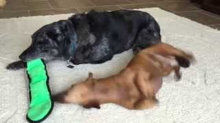 Cute Dogs Wrestle