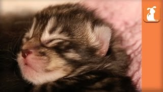 5 Day Old Kittens Yawn And Sleep – Kitten Love