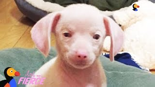 Feisty Pink Puppy Looks Just Like A Tiny Pig – PIGLET the Puppy | The Dodo Little But Fierce