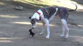 Little Puppy Meets Big Dog