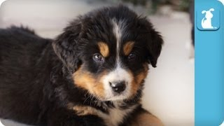 Cute Bernese Mountain Dog Puppies – Puppy Love