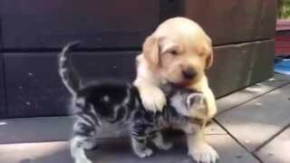 This Kitten Loves His New Friend, The Golden Retriever Puppy