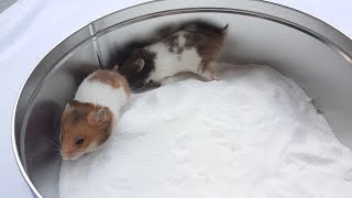 Hamters friends smoothing snow-white fur with sand | Life Of Hamster