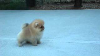 AKC Pomeranian Puppy – Benjamin at 8 weeks old