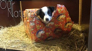 Getting A Puppy For Christmas! Puppies As Gifts Compilation 2017