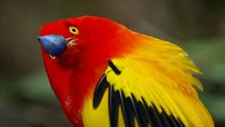 The Bowerbird's Grand Performance! | Life Story | BBC