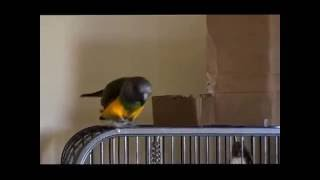 Funny Senegal Parrot Plays Peek-a-boo!  Super cute bird!
