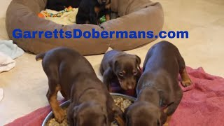 Doberman Puppies eat puppy food for first time