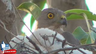 Accipiter badius (Shikra bird) with cute babies || wildlife today