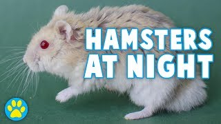 What My Hamsters Do At Night