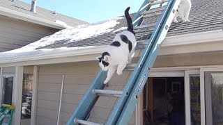 Cute Cats On Roof Climb Down Ladder