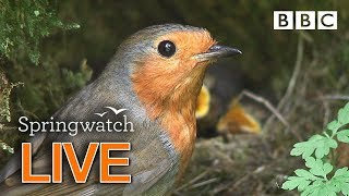Cute birds and animals streaming cams Day 6 Part 1 🐦🐤🐤🐤 | BBC Springwatch