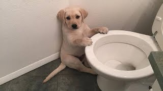 Best Of Cute Labrador Puppies #59 – Funny Puppy Videos 2018