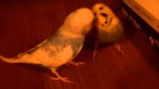 Cute Birds Kissing!
