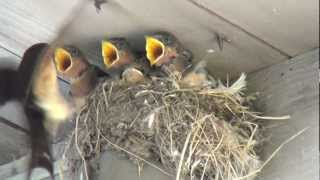 Cute baby birds being fed by mom (with slow motion)