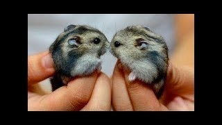 Top Hamsters 🔴 Funny Hamster Videos Compilation – Adorables Hamsters Vídeo Recopilación