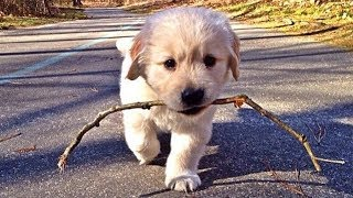 Funny And Cute Golden Retriever Puppies Compilation 2019 | Cutest Golden Retriever Puppy Ever