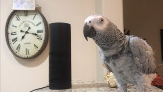 Smartest most conversational parrot ever. Petra the home automation expert, african grey