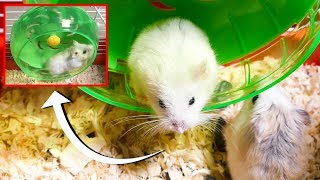 Funny hamsters in wheel videos Jonhy and Lory  Running Heat the muscles |Part 1