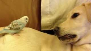 Cute Animals – Budgie and Dog playing