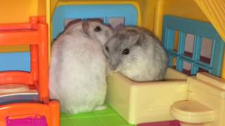 Playtime for these cute #hamsters! (2019 Top funny #hamster video)