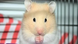 Hamsters – Top 10 Fun Facts (Hamsters Video)