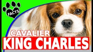 Dogs 101: Cavalier King Charles Spaniel Cool Fun Facts Cutest Dog Breeds – Animal Facts