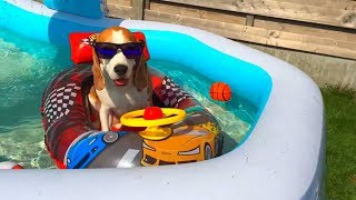 Dogs Vs Swimming Pool Cute Dog Louie The Beagle