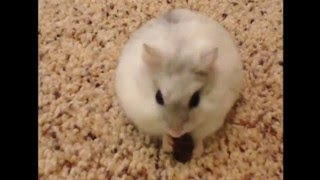 CUTE AND FUNNY HAMSTERS VIDEOS COMPILATION 2016 | CUTE