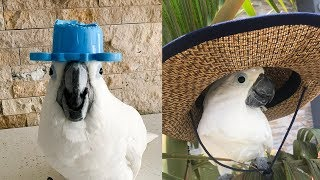 Cute Is Not Enough 🔴 Funny and Cute Parrots Videos Compilation #102