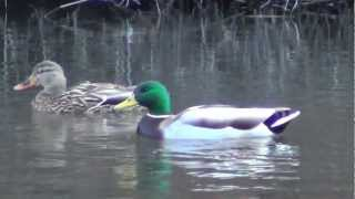 Adorable Ducks on the water, duck floating, funny birds