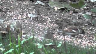 Flock of Cute House Finches & Sparrows Eating Bird Seed in California