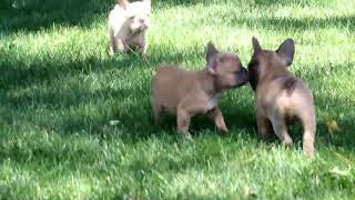 French Bulldog Puppies For Sale Marcus Kauffman