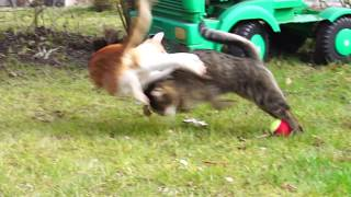Cute cats fighting over tennis ball / slow motion