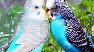 Cute Birds Kissing/ Funny Animals Compilation