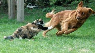 Cats and dogs chasing each other and their tails – funny cat and dog compilation 2015