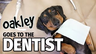 Ep 12: Oakley Goes to the Dentist (FINALE) – Cute Dachshund Video
