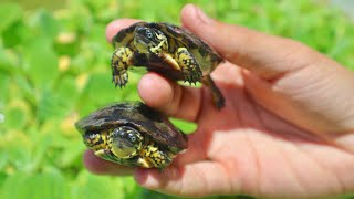 NEW! Cute Rare Blue Eyed Baby Turtles!