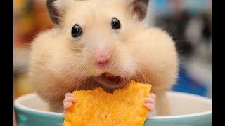 Funny Hamsters Videos Compilation #4   Cute and Funny moments of the animals – Cute TV