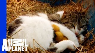 A Momma Cat and Her Yellow, Feathered Kittens